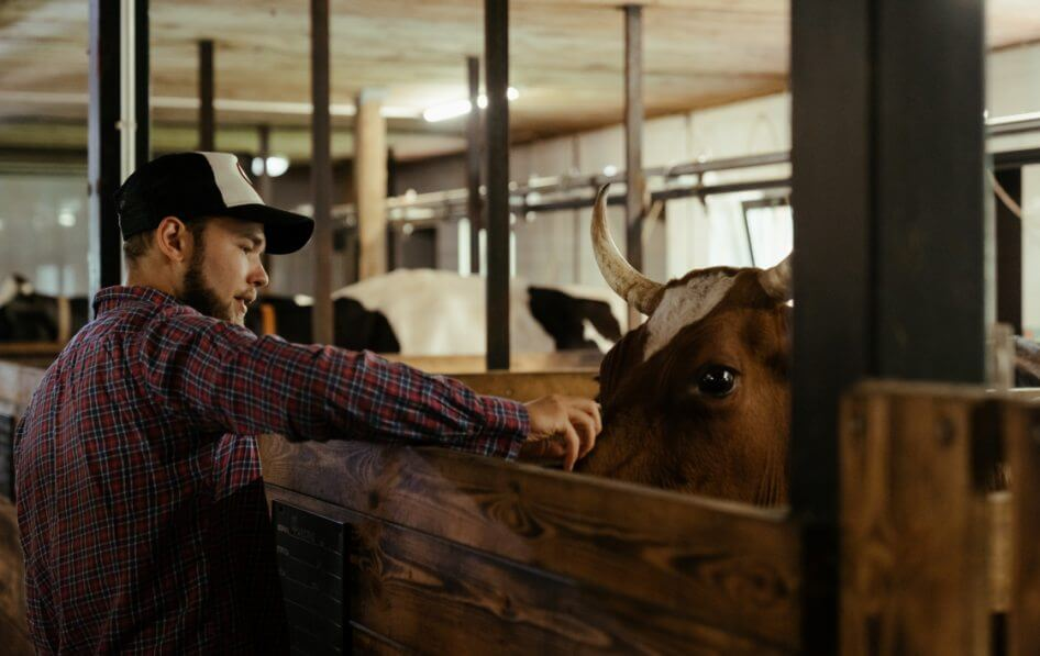 Cattle veterinarian or professionals